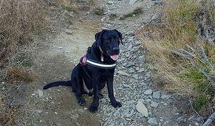 Trzyletni labrador Sajgon, pies ratownik, potrzebuje pomocy