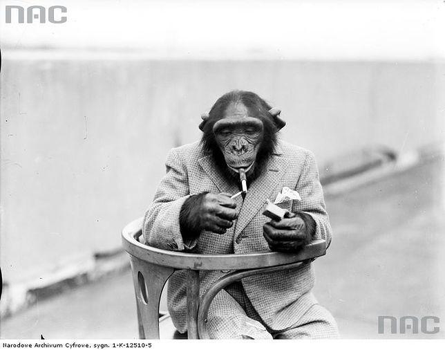 Warszawski humor: chciał udawać małpę w ZOO!