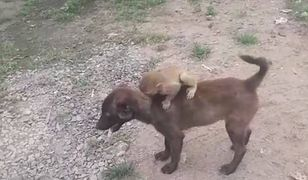 Pies dostarcza małpkę na komisariat policji