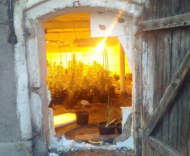 Policjanci z Krotoszyna odkryli plantację marihuany w... chlewie