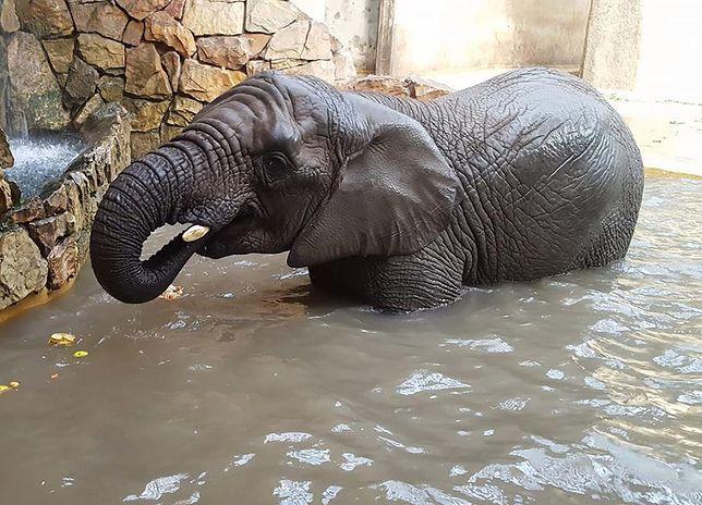 Słonica Erna na szczęście nie ucierpiała po spożyciu śmieci wrzuconych do wybiegu przez turystów.