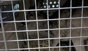 Śląskie. Dramatyczna akcja w lesie. Policja z Mikołowa interweniowała do uwięzionej sarny