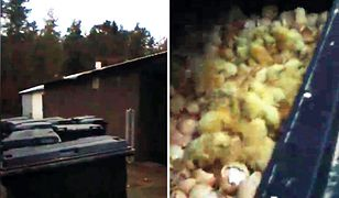 """Żywe kurczaki w kontenerze z odpadami. """"Awaria przy utylizacji"""""""