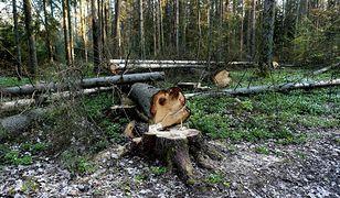 Zniszczone drzewa w Puszczy Białowieskiej