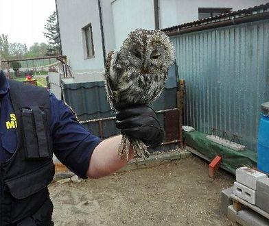 Warszawa. Wycieńczona sowa uratowana na Pradze