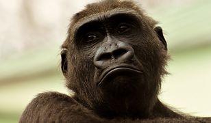 CNN: goryle mogą zarażać się koronawirusem od ludzi