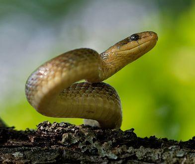 Eskulap to największy wąż żyjący w Polsce i Europie Środkowej