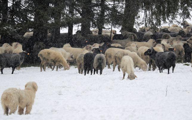 """""""Zimni ogrodnicy"""" na Podhalu: owce w śniegu"""