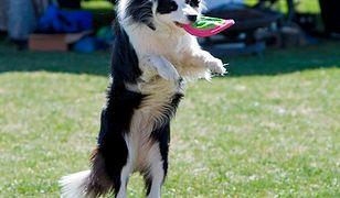 Na poznańskiej Cytadeli będzie można zobaczyć w akcji... latające psy
