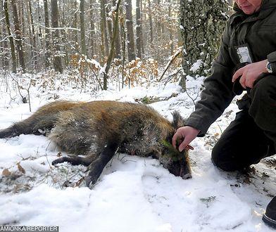 Minister Środowiska nakazał zmasowane polowania na dziki.