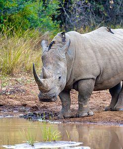 Przemycali rogi nosorożców. Były warte miliony