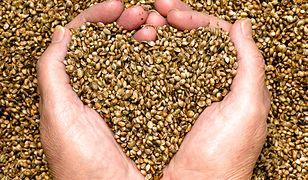 Zmielone nasiona konopne to odżywka proteinowa