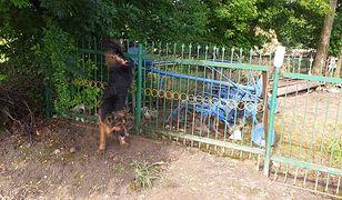 Olszanka. Pies nadział się na ogrodzenie i zawisł. Pomogli strażacy