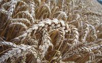 Ochrona fungicydowa zbóż