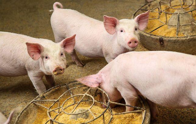 Hodowla świń w chińskiej prowincji Guizhou.