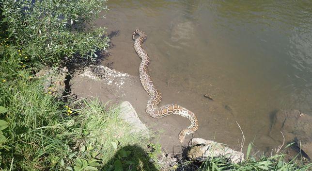 Czechy. Ogromny, martwy pyton wyłowiony z rzeki. Wąż miał 6 metrów i ważył 50 kg