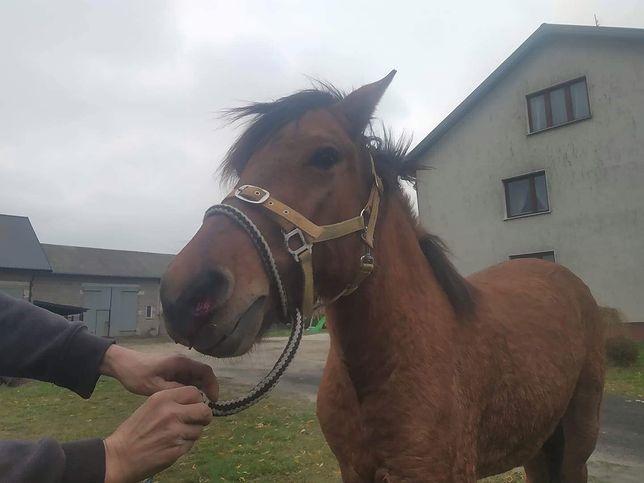 Mazowsze. Konie biegają po drodze ekspresowej S8. Fundacja Pegasus złapała dwa zwierzęta
