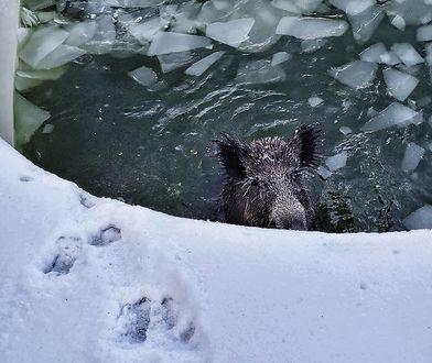 Niemcy. Dzik utknął w basenie. Załamał się pod nim lód