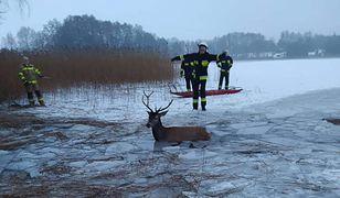 Ścienne. Stado jeleni wpadło do jeziora. Heroiczna akcja ratunkowa strażaków