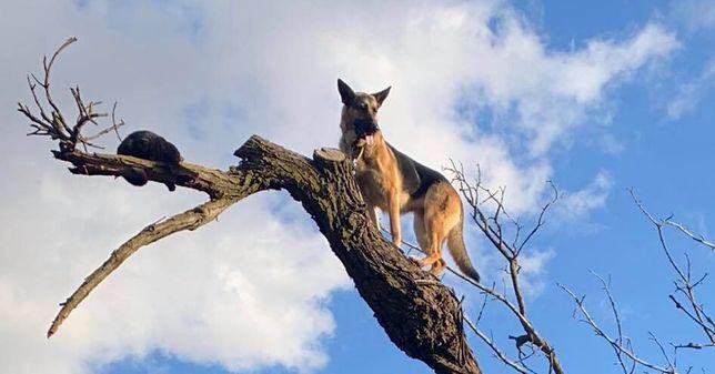 Lathrop w Kaliforni (USA). Owczarek niemiecki utknął na czubku drzewa