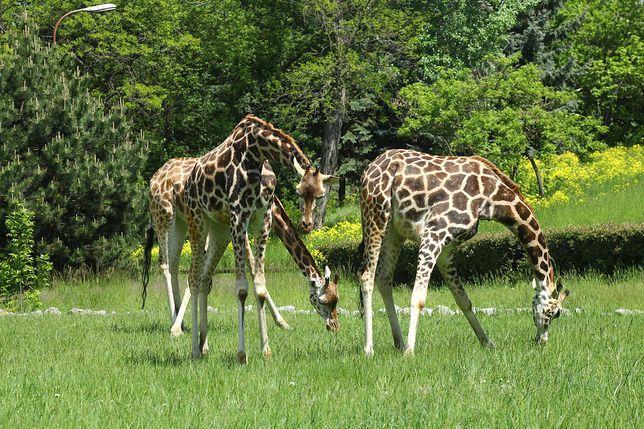 Kolejne pawilony w stołecznym ogrodzie zoologicznym otwarte od czerwca (fot. Warszawskie ZOO - Facebook)
