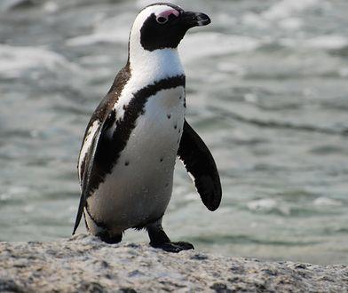 Wyspę Pebble zamieszkuje 5 gatunków pingwinów