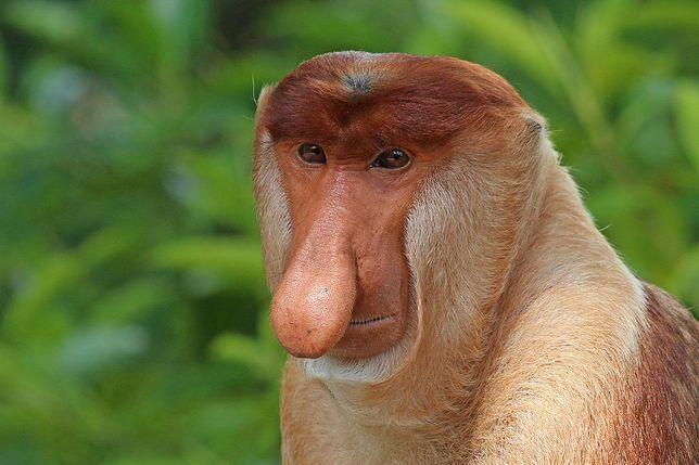 Memy z nosaczem pozytywnie wpłynęły na działania mające na celu ratowanie gatunku