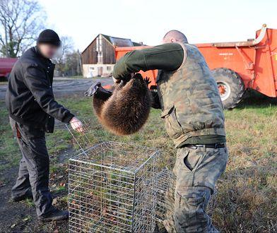 Polowali na bobry i robili z nich kiełbasę. Trzech mężczyzn z zarzutami