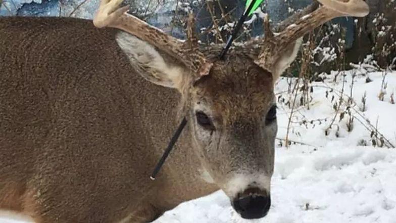 Świąteczny cud? Wstrząsająca historia jelenia Marchewki