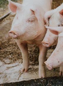 """Jak się wyzywać? Nie mówić """"świnia"""" – to nie fair wobec świni"""