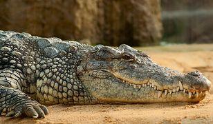 Hiszpania. Krokodyl nilowy w rzecze. Policja apeluje do mieszkańców
