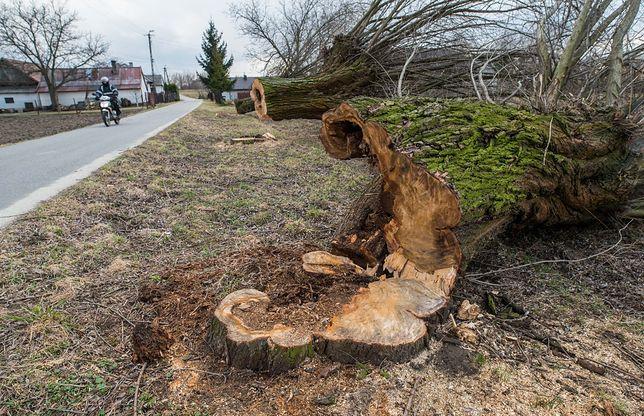 Rząd odpuszcza wycinkę przydrożnych drzew. Triumf obrońców przyrody