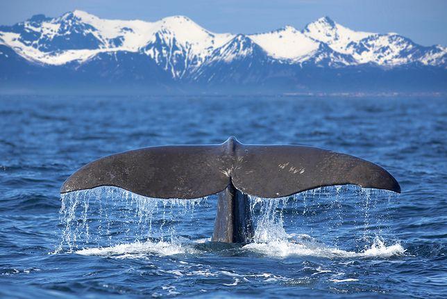 Nie trzeba jechać na koniec świata, aby zobaczyć wieloryby. Można je spotkać także w Europie