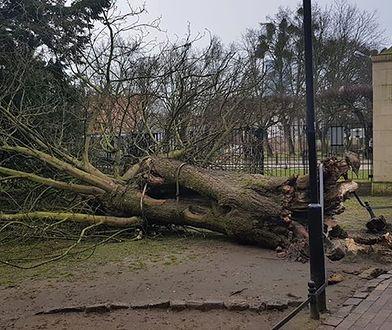 Wielu mieszkańców Trójmiasta wspomina słynne drzewo z rozrzewnieniem