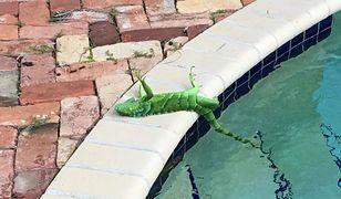 """""""Prognoza pogody na Florydzie w ten weekend: zimno, wietrznie i deszcze legwanów"""" - napisał na Twitterze jeden z mieszkańców stanu"""