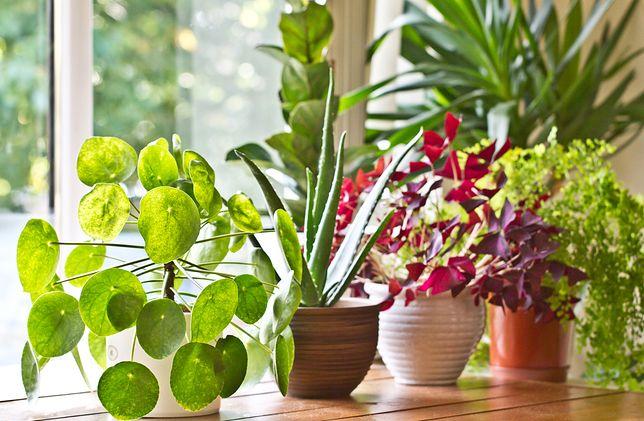"""Pieniążek ma ponad 600 odmian, Anglicy nazywają go """"chinese money plant"""""""