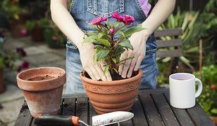 Prosty trik Mai Popielarskiej na wykorzystanie cebulek kwiatów