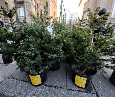 Warszawa. Ratusz chce adoptować choinki mieszkańców stolicy po świętach Bożego Narodzenia