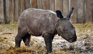 Nosorożec Byś opuszcza Warszawę! (ZDJĘCIA)