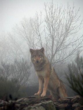 Wilk konał w męczarniach przez kilkanaście dni