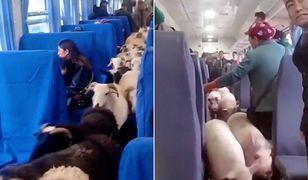 Chiny. Stado bydła podróżowało pociągiem pasażerskim