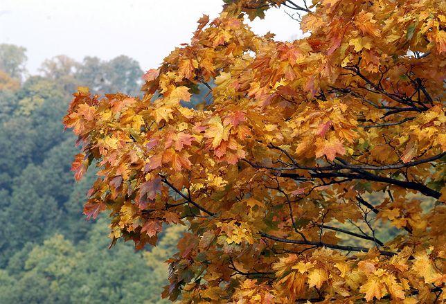 W lasach coraz częściej można spotkać drzewa w kolorach jesieni