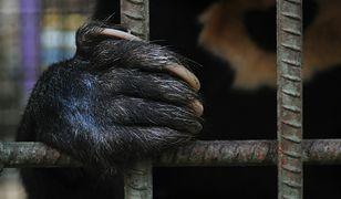 Na fermach żółci niedźwiedzie trzymane są w niewielkich klatkach (zdjęcie ilustracyjne)