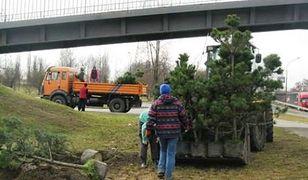 Sosnowiec. Miasto zapowiada nasadzenie setek nowych drzew i tłumaczy się z wycinki
