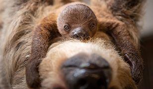 Poszukiwane imię dla młodego leniwca. Wrocławskie zoo zorganizowało konkurs