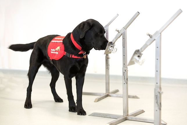 Koronawirus. Psy mają rozpoznawać COVID-19 u pasażerów na lotniskach w Wielkiej Brytanii