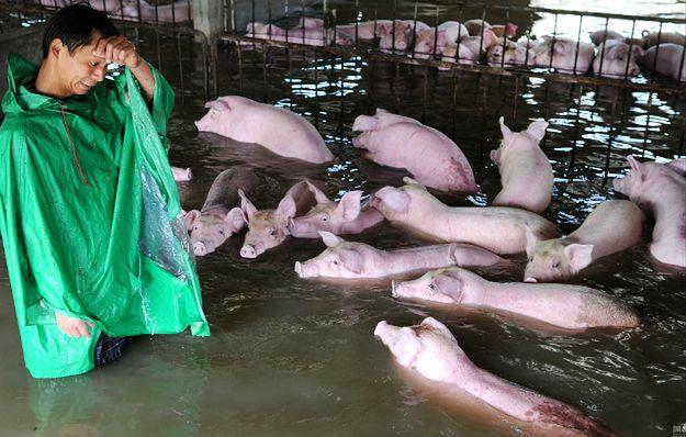 Farmer został zmuszony do pozostawienia 6 tys. świń na śmierć. Żegnał się z nimi ze łzami w oczach