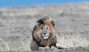 """""""Najsłynniejszy lew"""" nie żyje. Wyglądał jak Skaza z """"Króla Lwa"""" / Na zdjęciu lew Scarface w 2018 roku."""