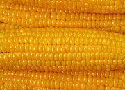 Rząd przyjął rozporządzenia w sprawie zakazu upraw GMO
