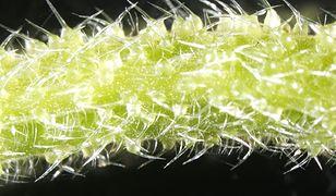 Kolce jadowe drzewa dendrocnide excelsa